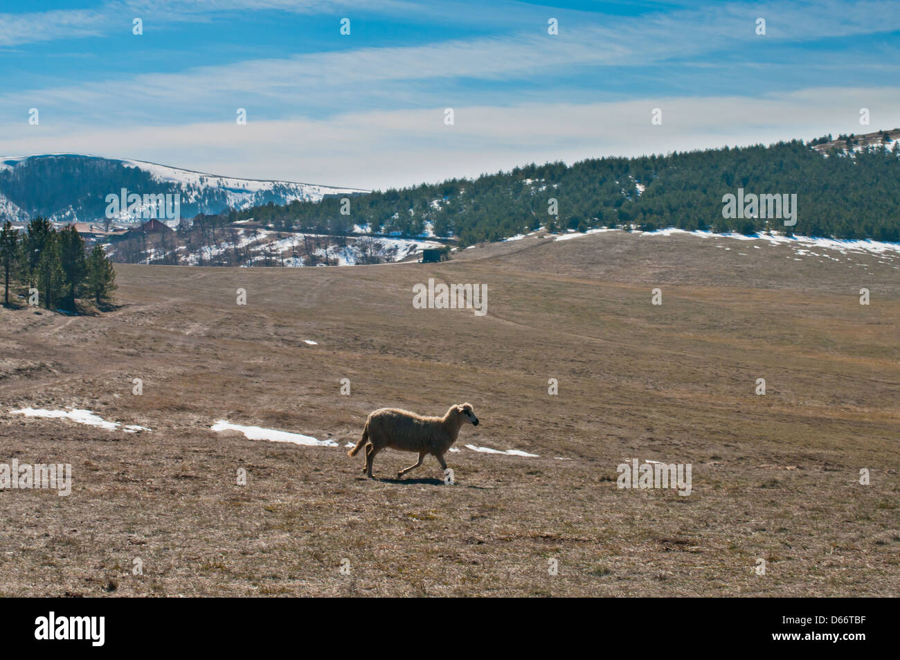 Sheep on Zlatibor meadows without grass - Stock Image