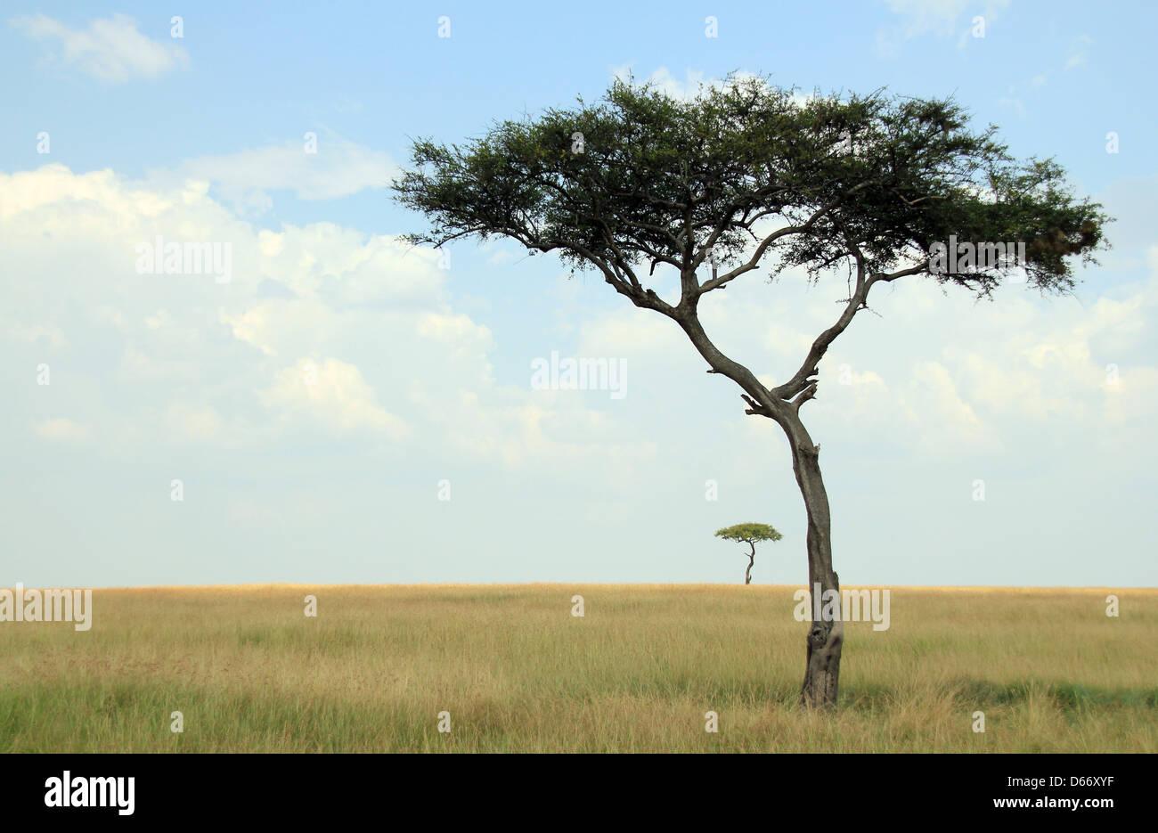 Acacia Trees on Savannah, Maasai Mara, Kenya - Stock Image