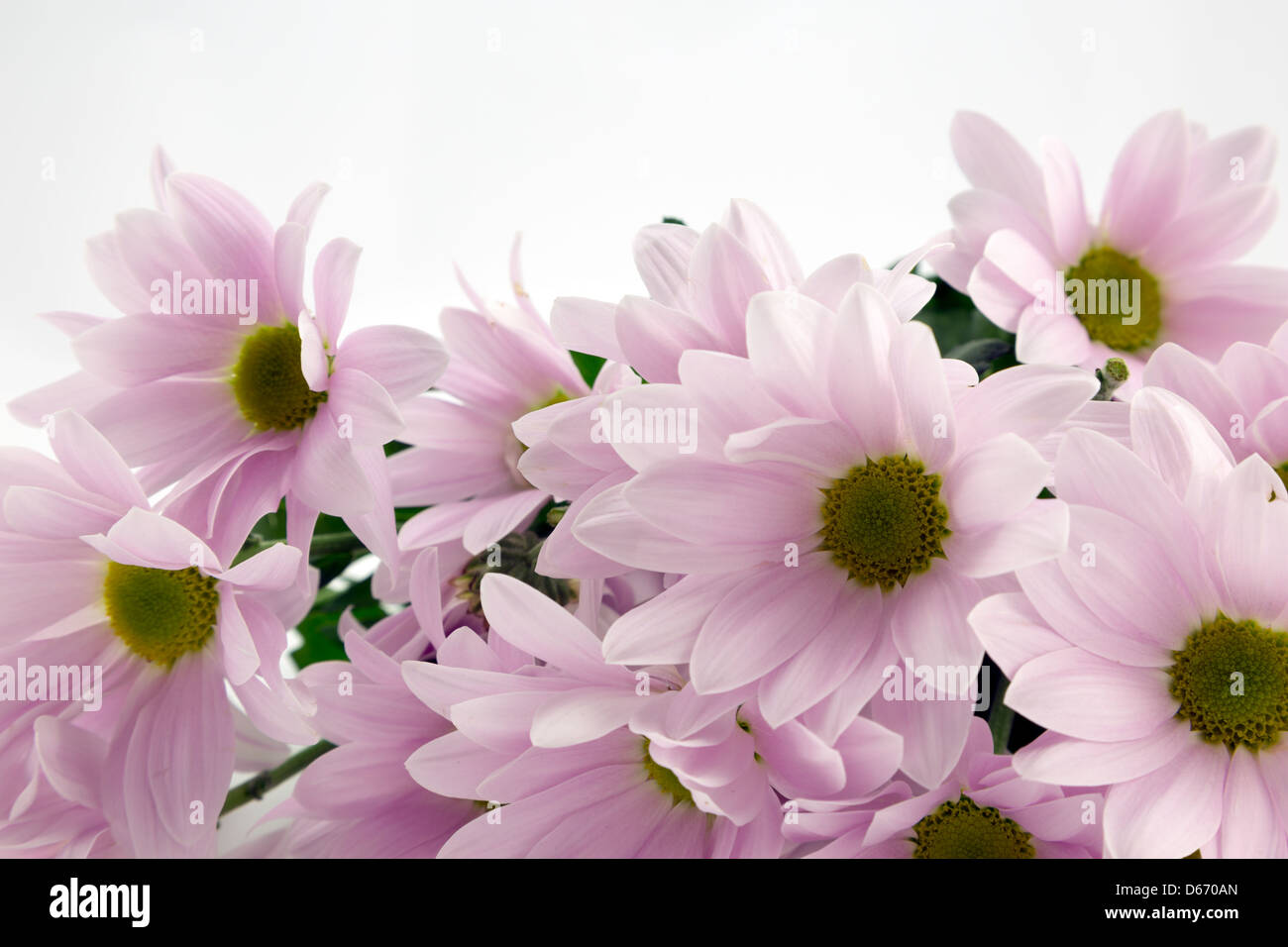 Pale pink chrysanthemums. - Stock Image