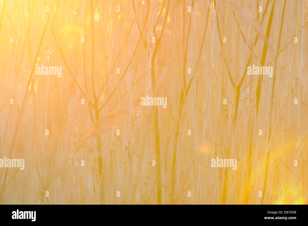 sunlight through willow shrubbery, niedersachsen, germany - Stock Image