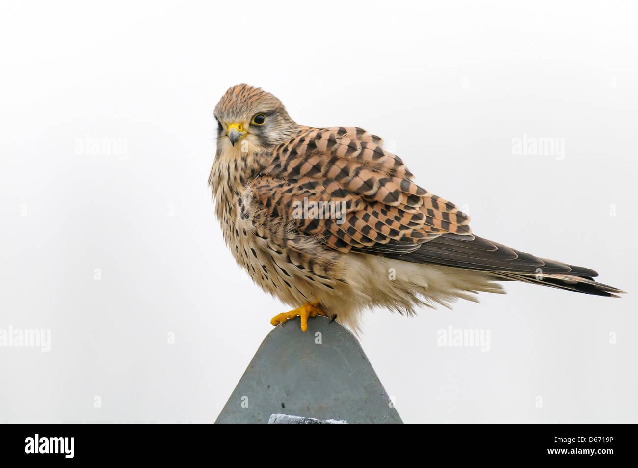 common kestrel, falco tinnunculus - Stock Image