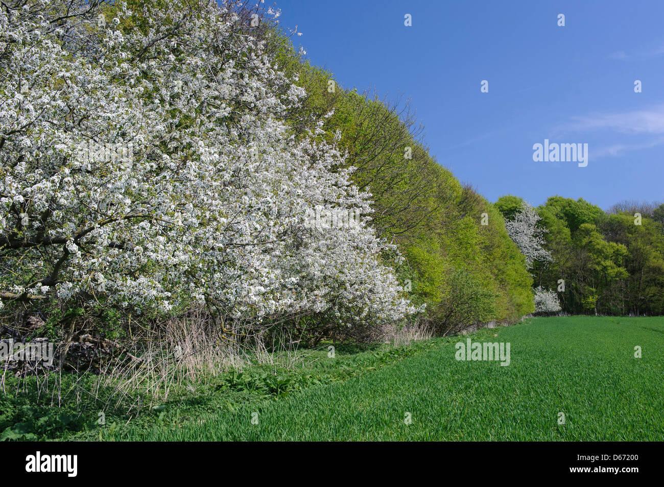 blooming cherry tree, niedersachsen, germany - Stock Image