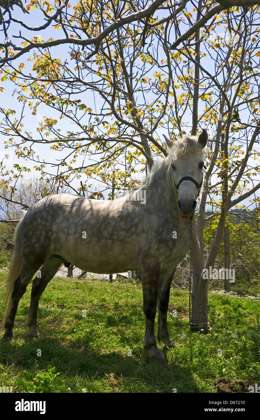 Portrait of a dappled horse in autumn (Greece) - Stock Image