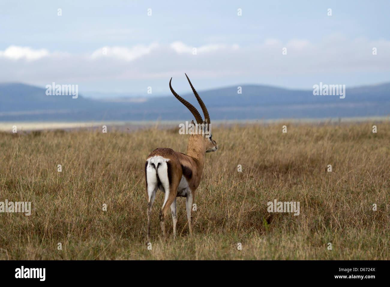Intrigued Impala - Stock Image