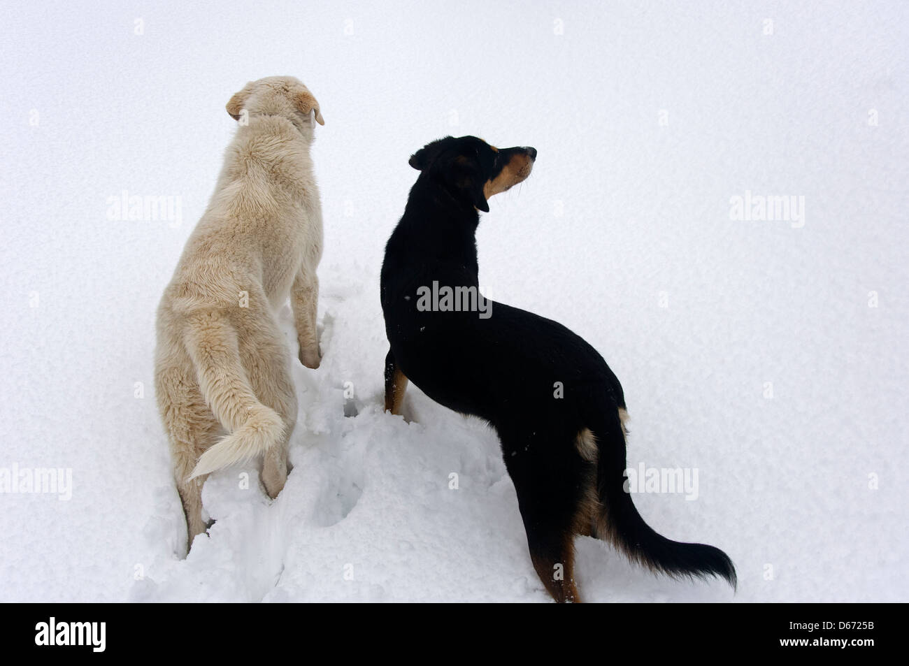 Two dogs side by side marveling at fresh snow - Stock Image