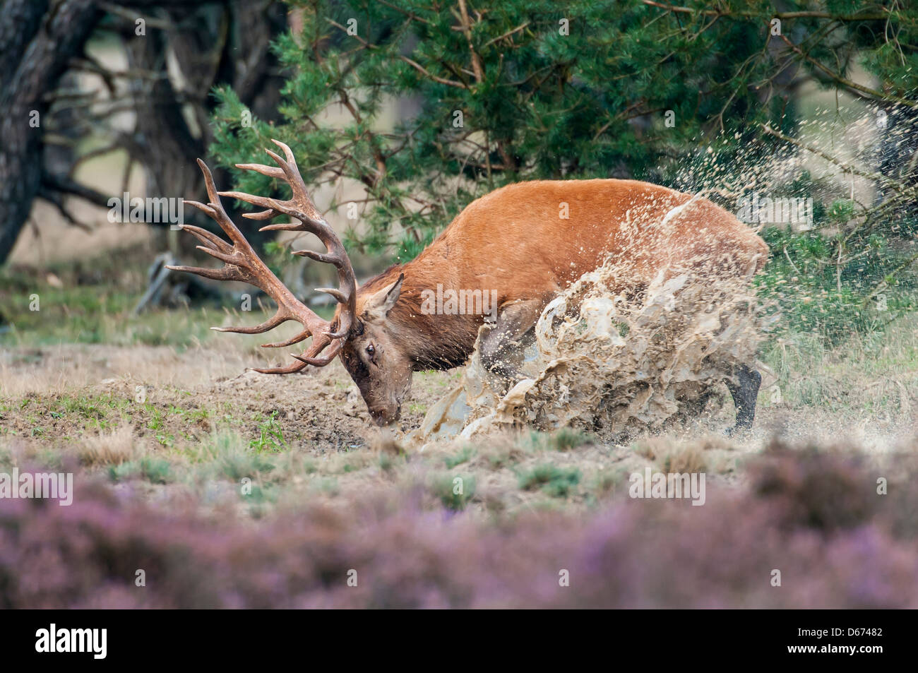 red deer, male, cervus elaphus - Stock Image