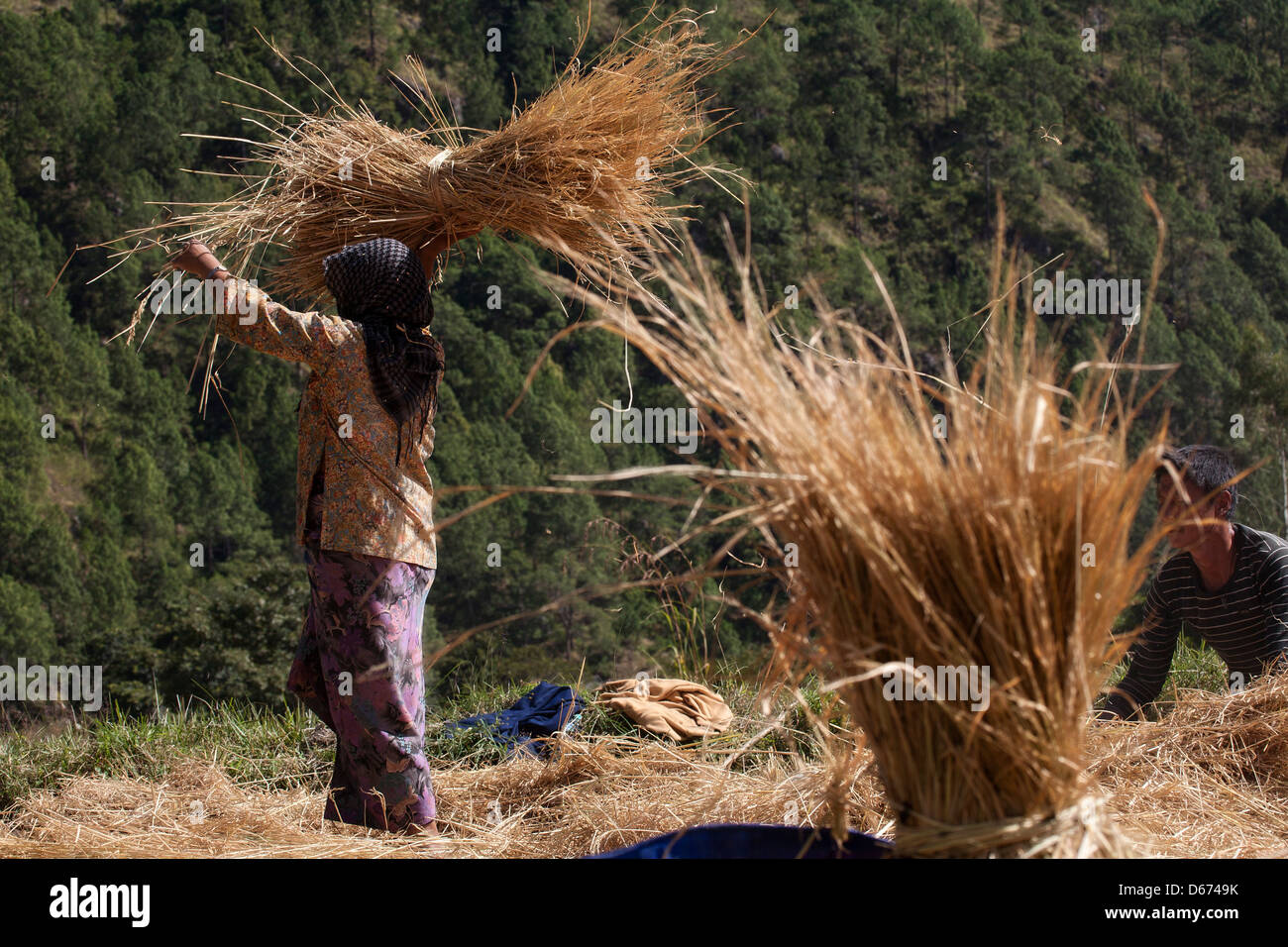 A couple harvests rice in the Punakha Valley. Bhutan. - Stock Image