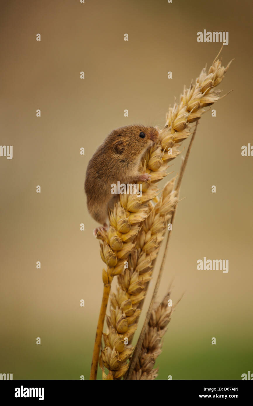 A Harvest Mouse climbing on some wheat Stock Photo