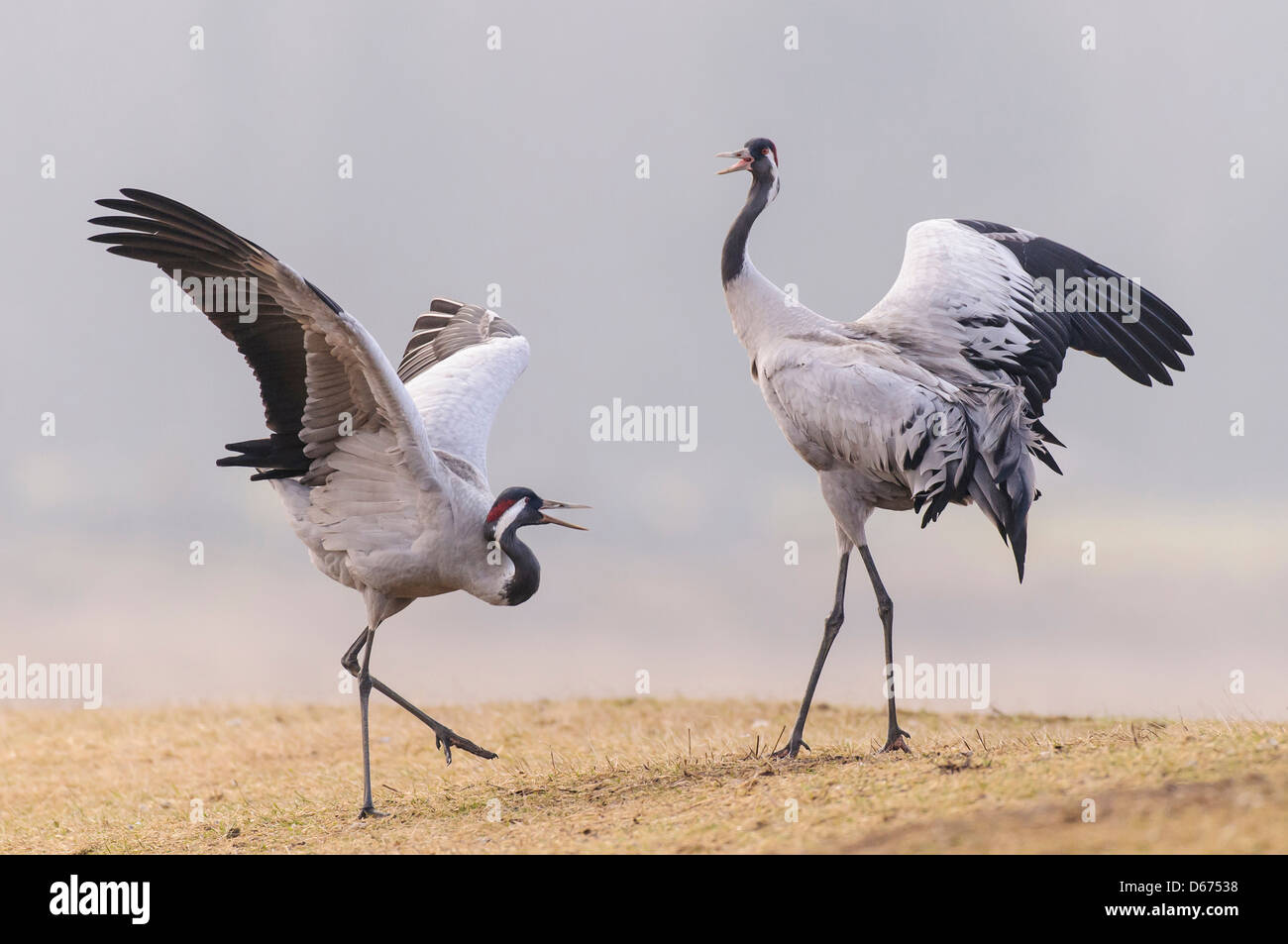 two cranes in mating season, grus grus, germany - Stock Image