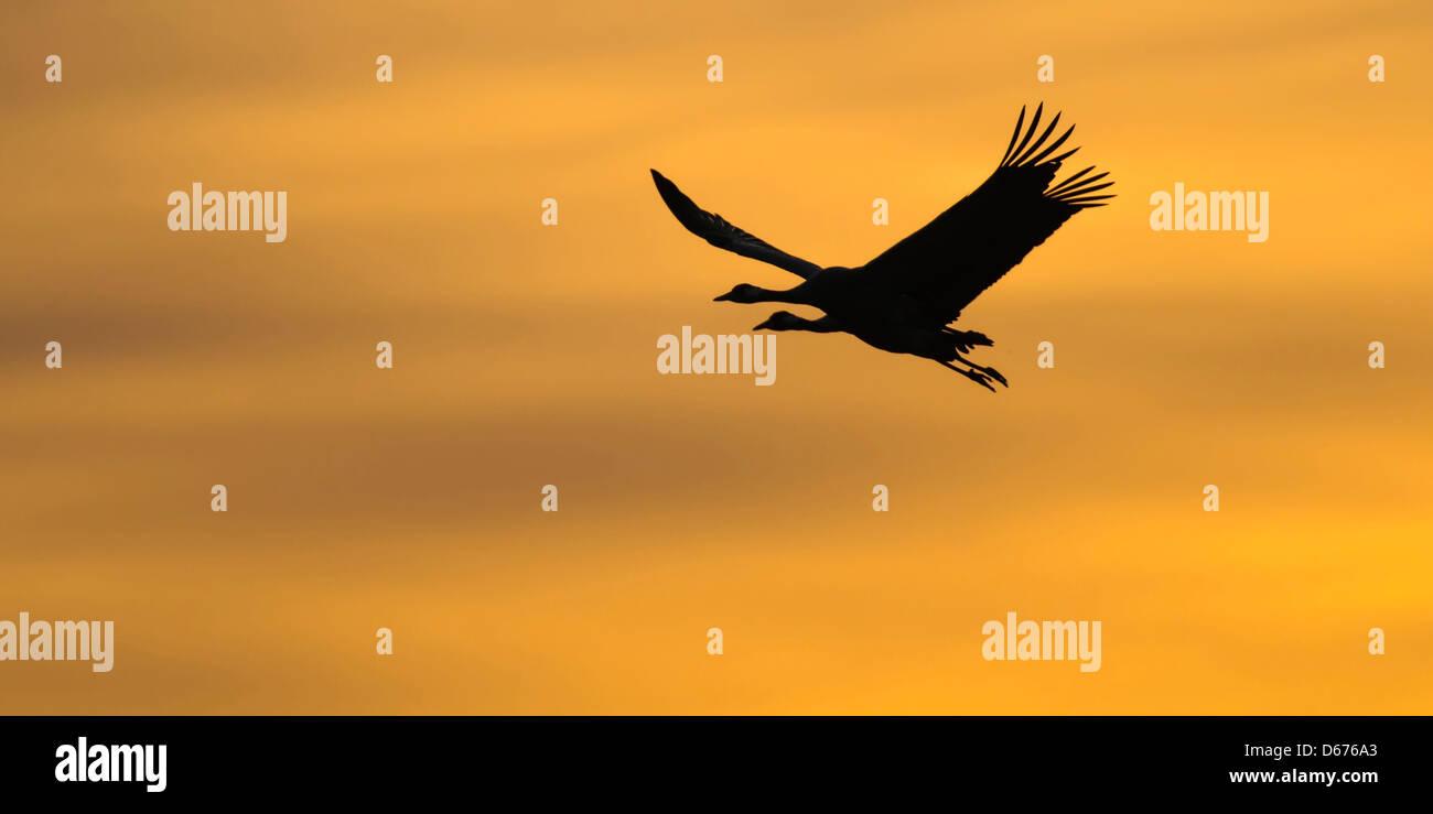 cranes at sky, grus grus, germany - Stock Image