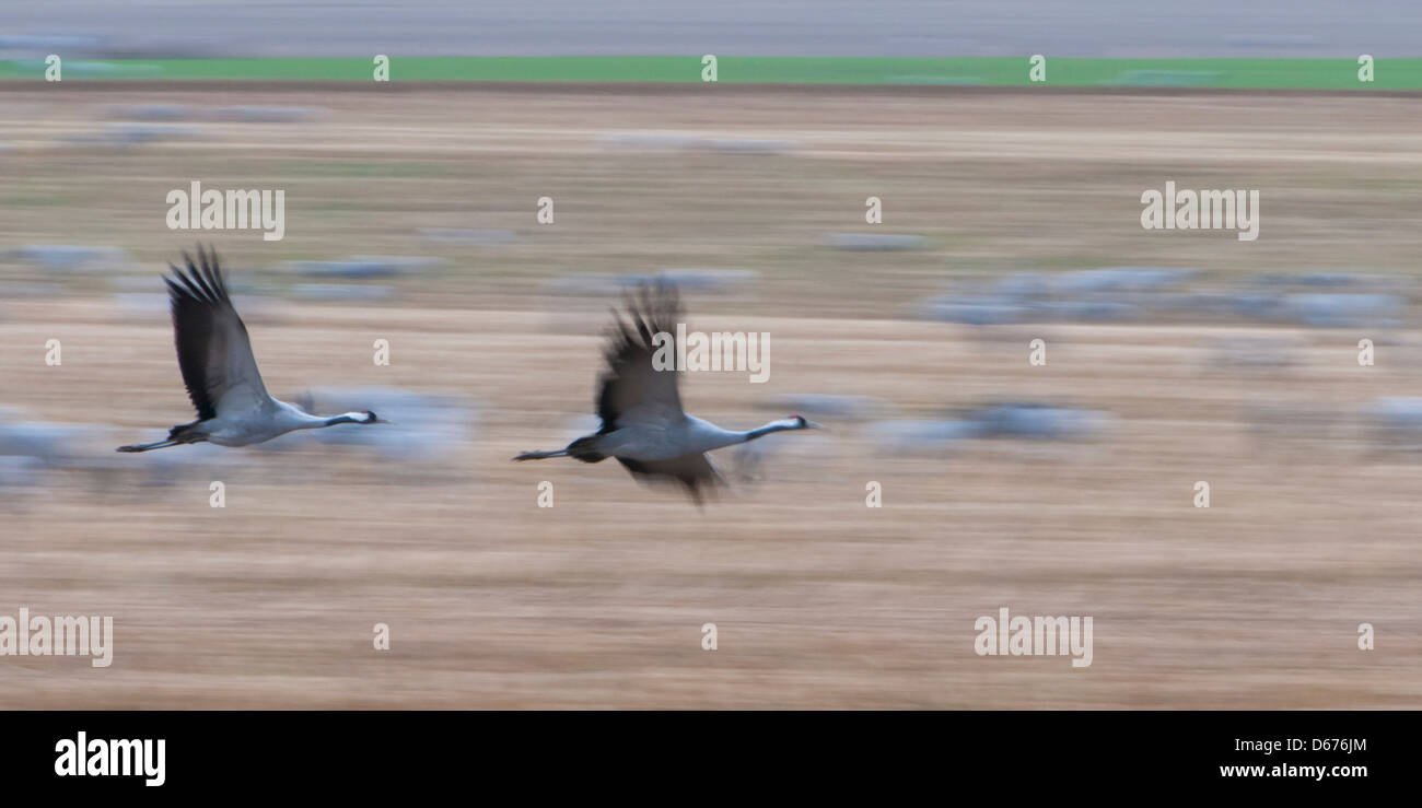 cranes flying over field, grus grus, germany Stock Photo