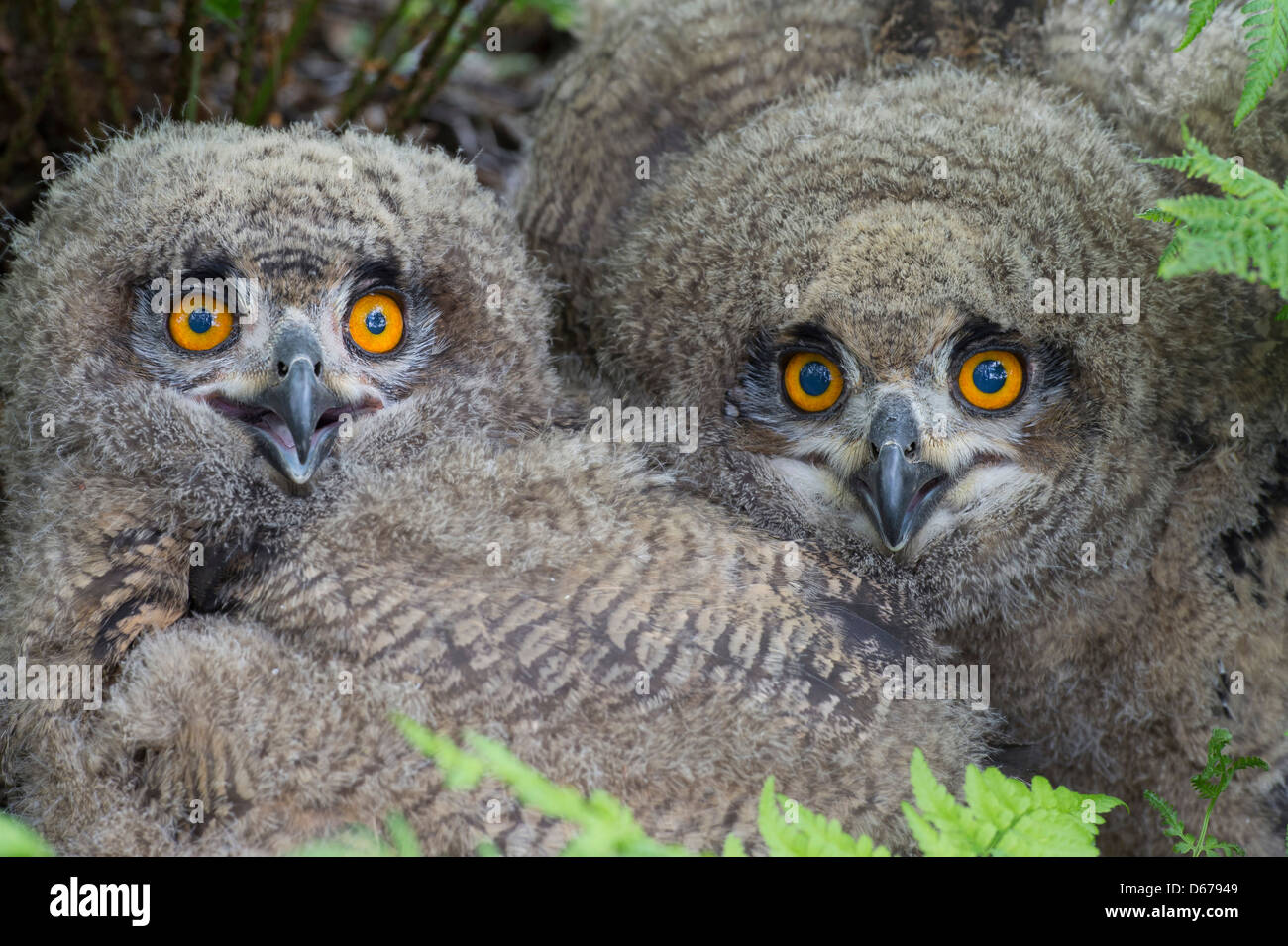 eurasian eagle-owl, juveniles, bubo bubo - Stock Image