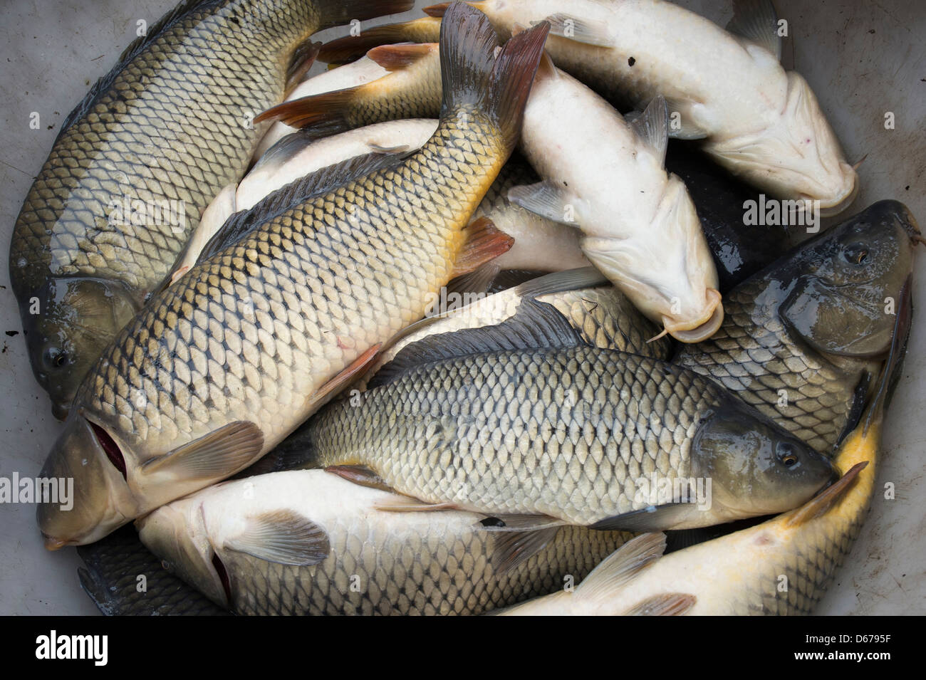 freshwater fishes, ahlhorner fishponds, niedersachsen, germany - Stock Image