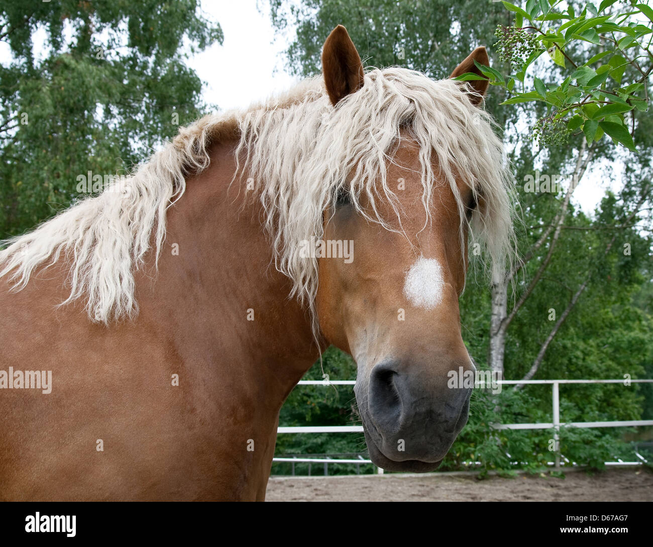 Portrait of a beautiful heavy draft horse with long mane. - Stock Image