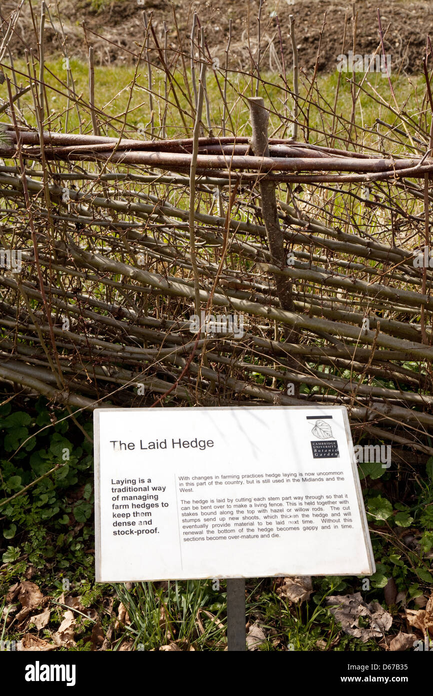 Demonstration of a traditional Laid Hedge, hedging or hedgerow, Cambridge Botanical Garden, UK Stock Photo