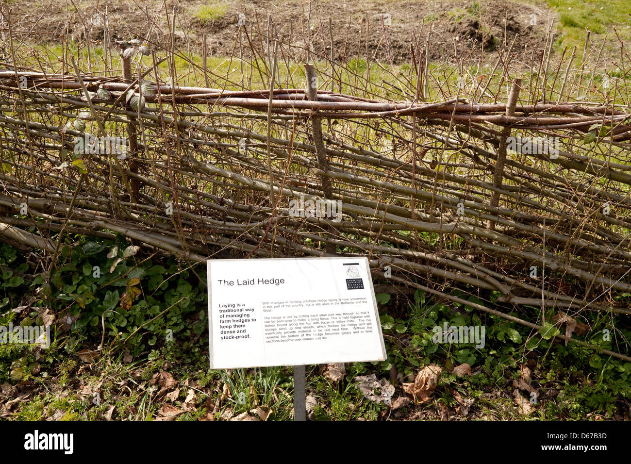 Demonstration of a traditional Laid Hedge, hedging or hedgerow, Cambridge Botanical Garden, UK - Stock Image