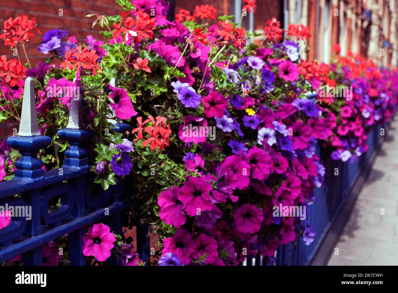 Petunia and geranium display, Bickenhall Mansions, Bickenhall Street, Marylebone, London, England, UK, Europe - Stock Image