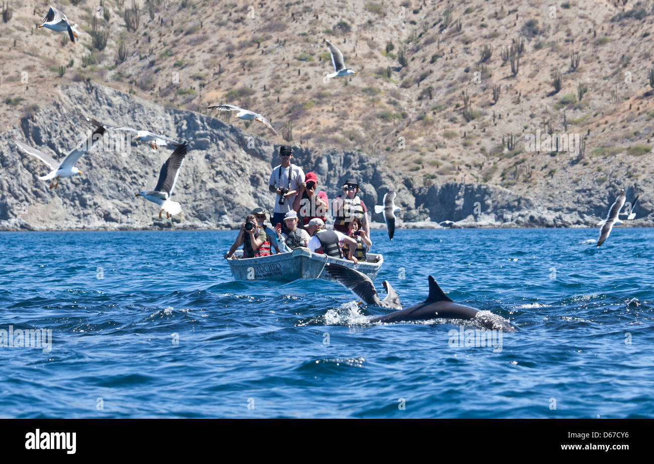 Ecotourists in a skiff photographing a dolphin with gulls and pelican in a feeding frenzy off Isla Santa Catalina - Stock Image