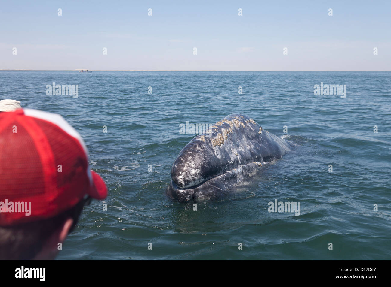 Ecotourist having a close encounter with a wild female Gray / Grey Whale, Eschrichtius robustus; Laguna San Ignacio - Stock Image
