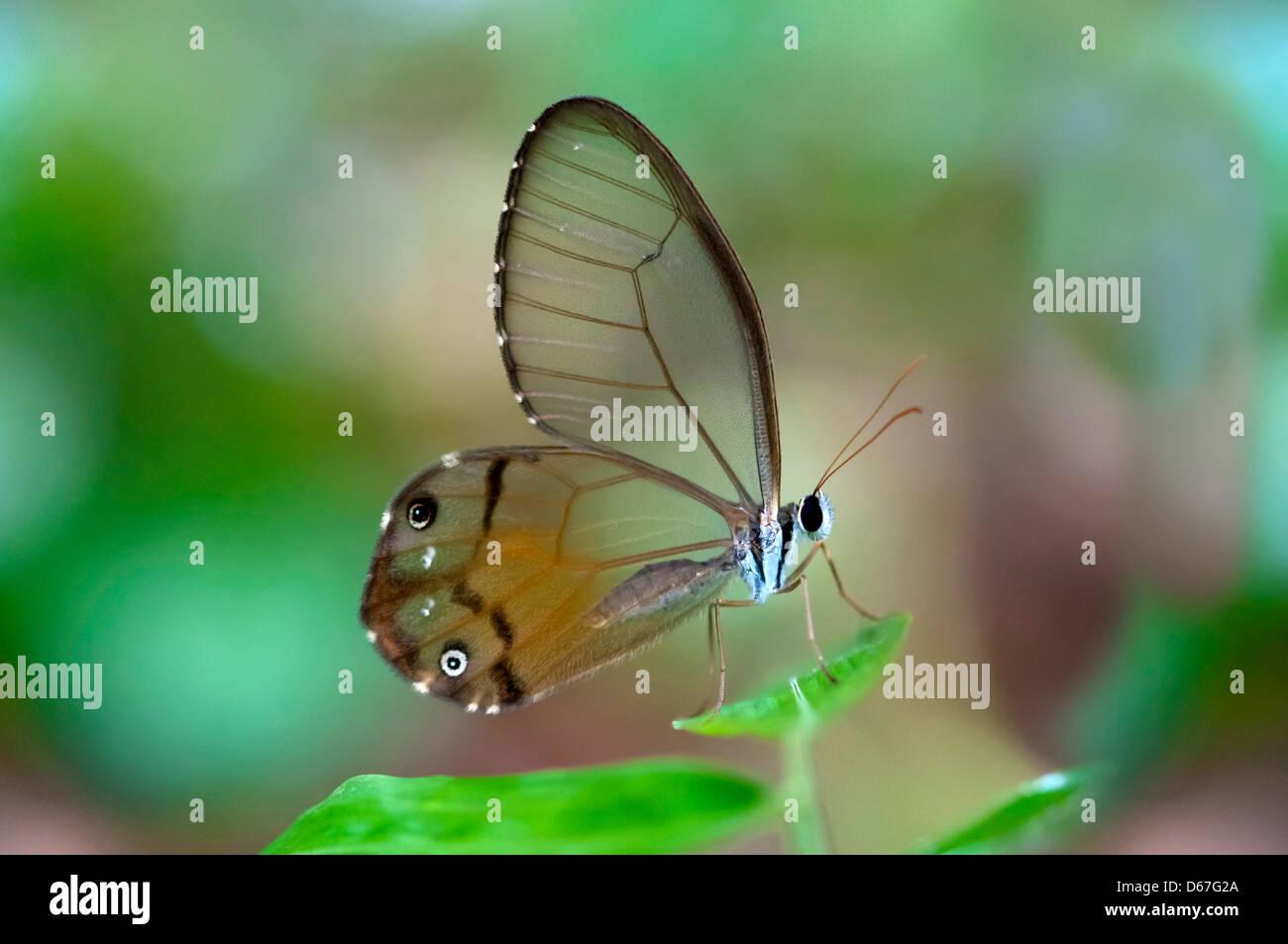 Clearwing butterfly Haetera piera, Tambopata Nature Reserve, Madre de Dios region, Peru Stock Photo
