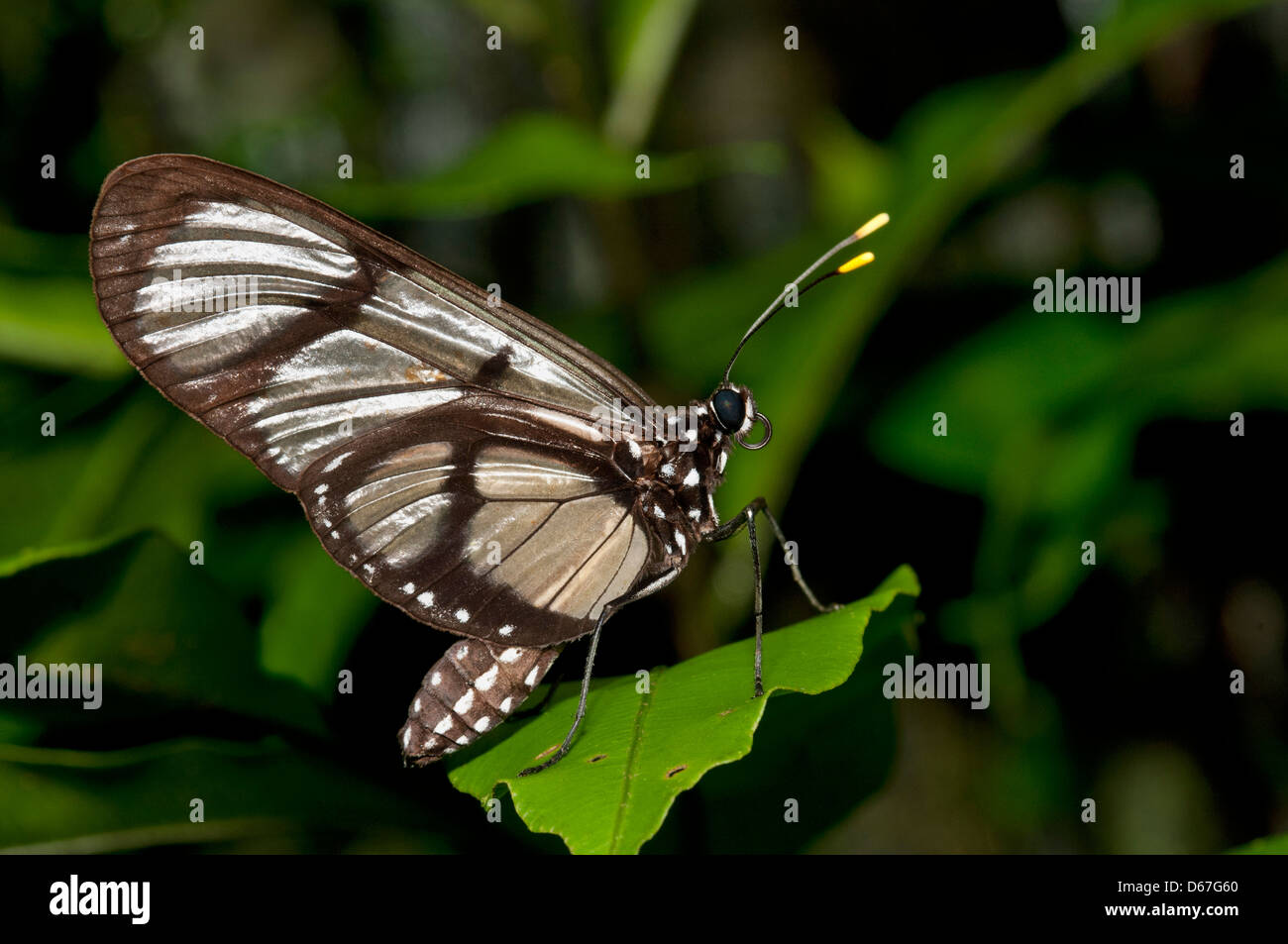 Giant Glasswing (Methona confusa), Brush-footed butterflies (Nymphalidae), Tambopata Nature Reserve, Madre de Dios - Stock Image