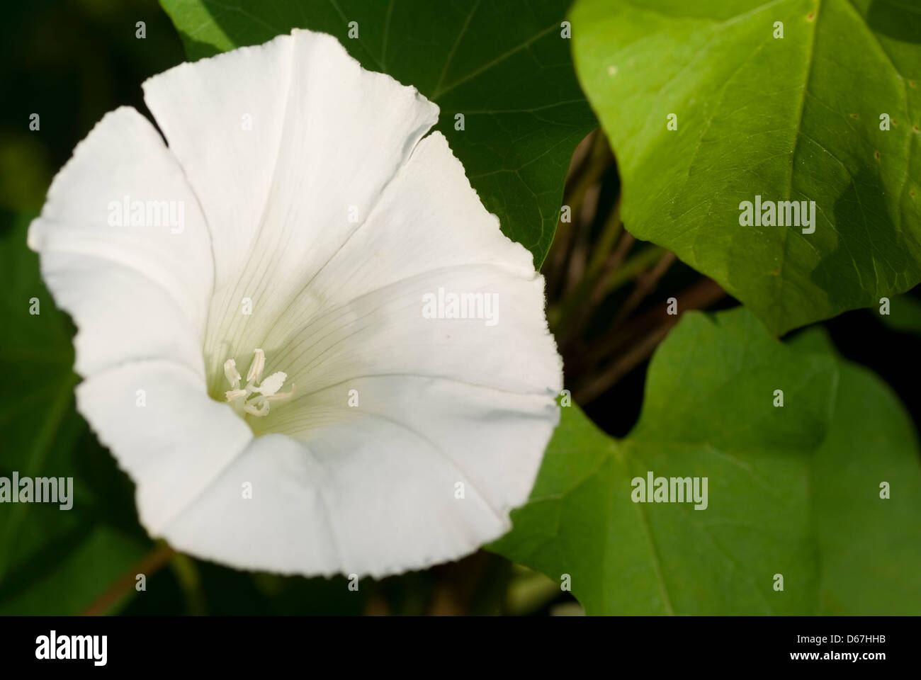 white developed bindweed on background green leaf - Stock Image