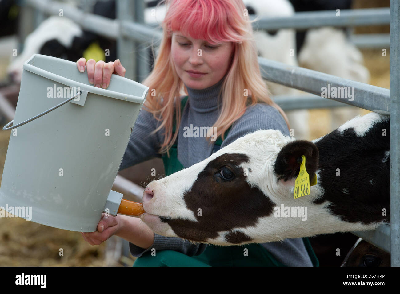 The farmer Jenny Hinz feeds her cattle on Kerkow Cottage in Kerkow, Germany, 5 June 2012. The 18th Brandenburger - Stock Image