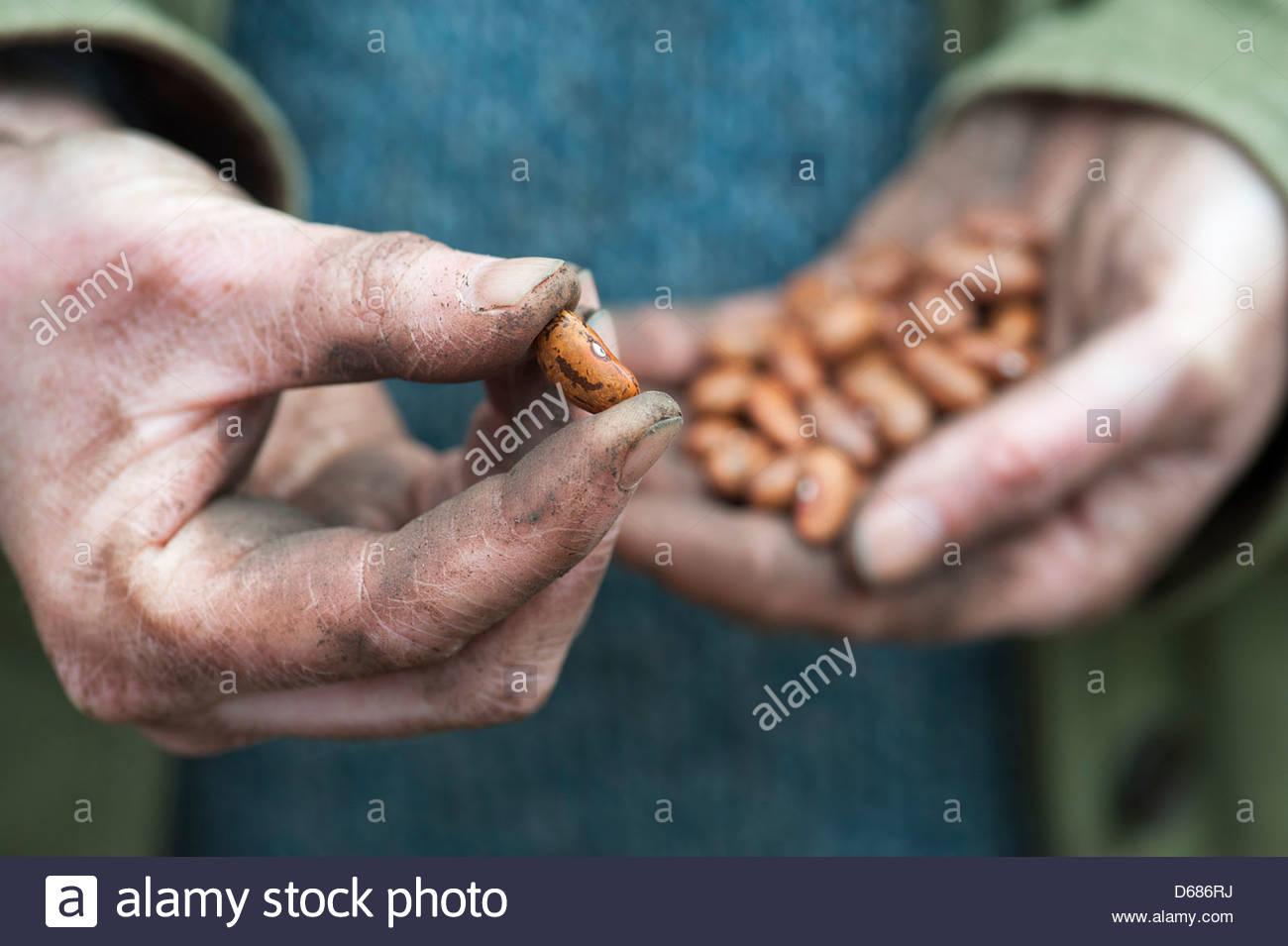 Phaseolus vulgaris var. vulgaris. Gardeners Hands holding French bean Jimenez beans. UK - Stock Image