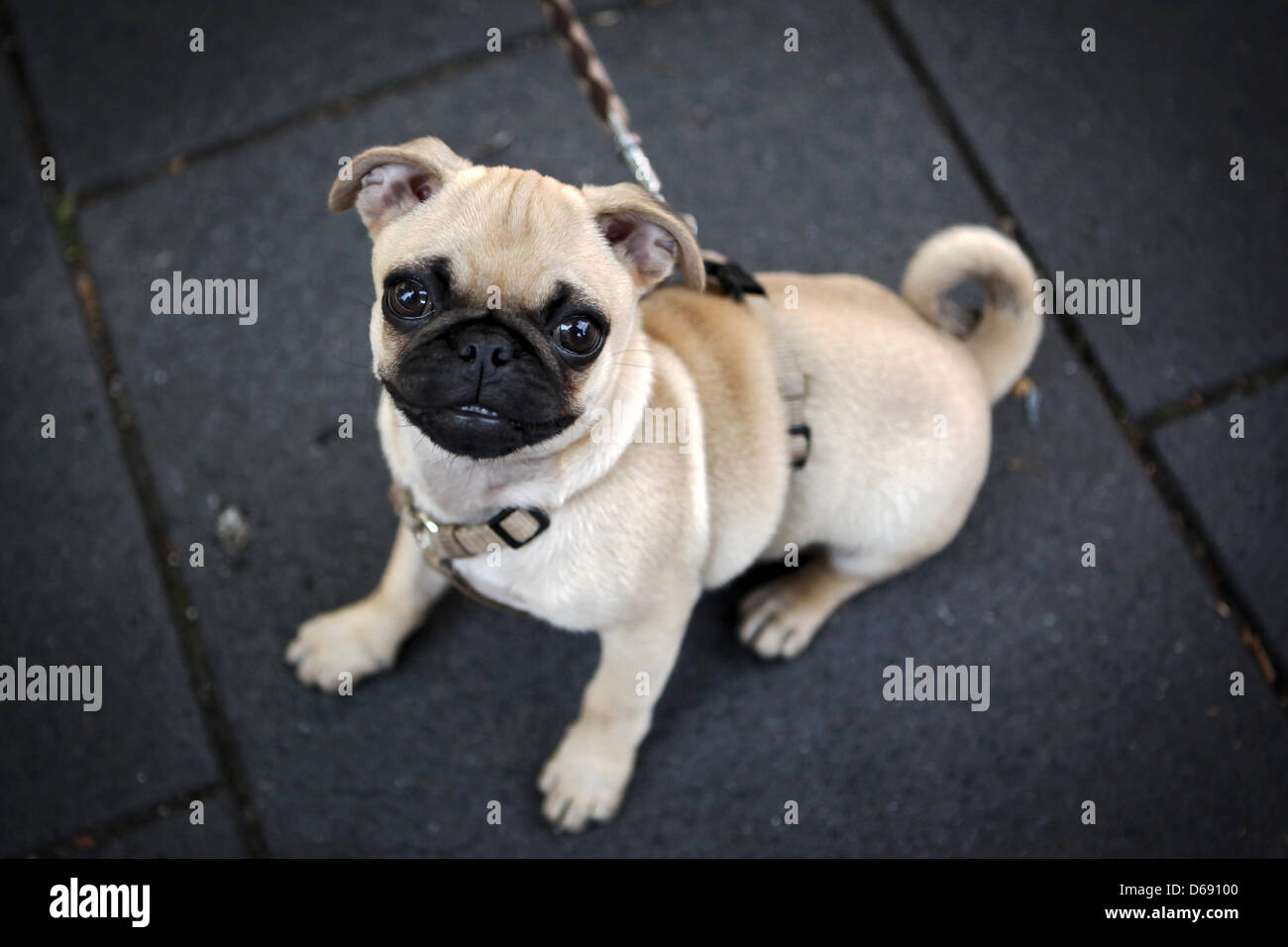 Young female pug Emma (15 weeks) sits at Romano Guardini Square during sunny weather in Mainz, Germany, 26 July - Stock Image