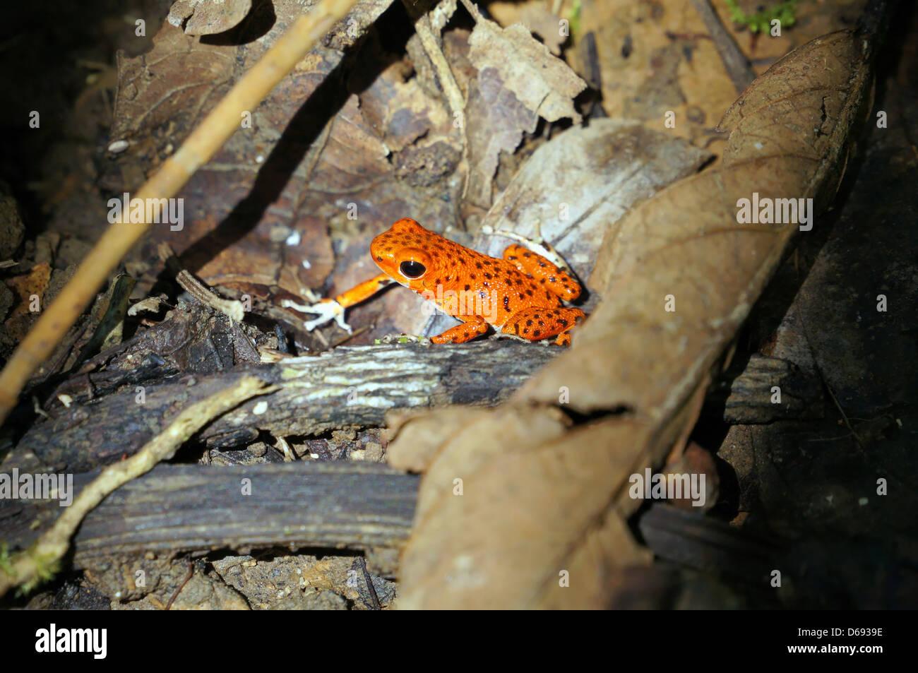Strawberry poison dart frog, Oophaga pumilio, Bastimentos national park, Bocas del Toro, Panama - Stock Image