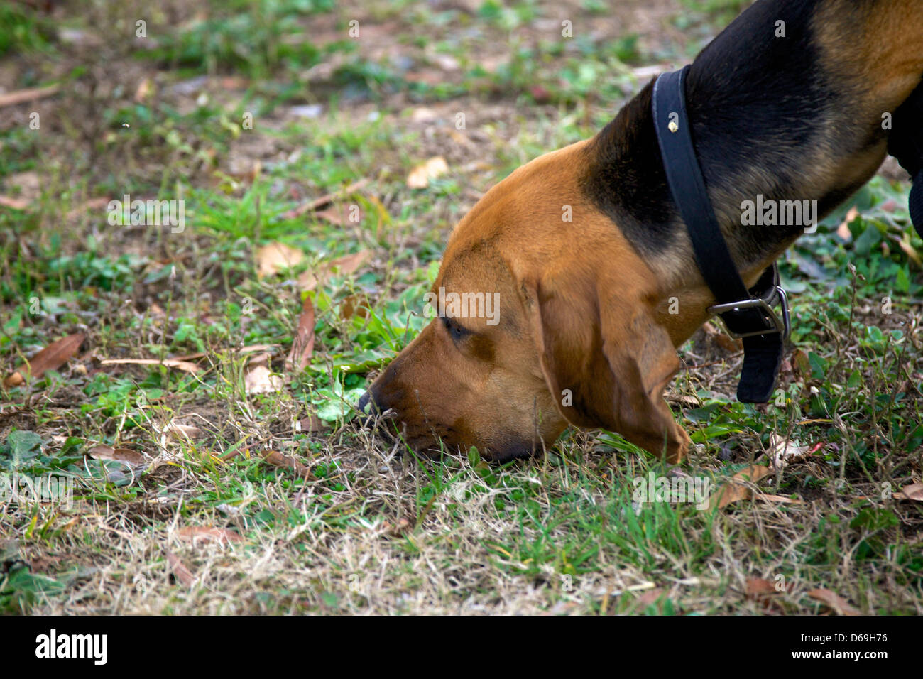 Police K9 dog, a bloodhound, tracking. - Stock Image