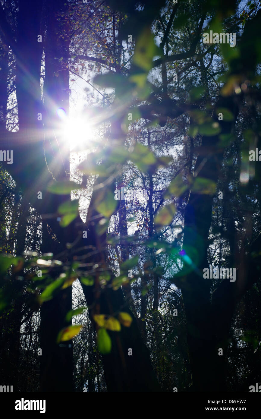 Forest with sun flaring lens. - Stock Image