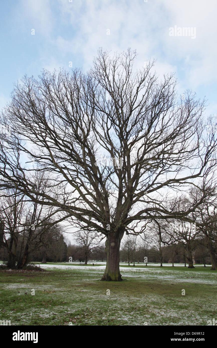 Oak tree growing in field - Stock Image