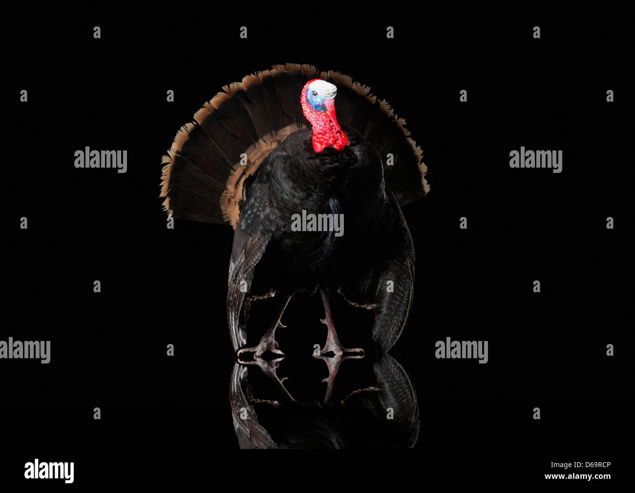 Close up of taxidermied turkey - Stock Image