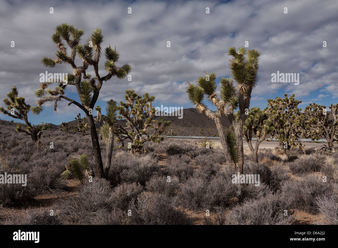 Joshua trees growing in dry landscape - Stock Image