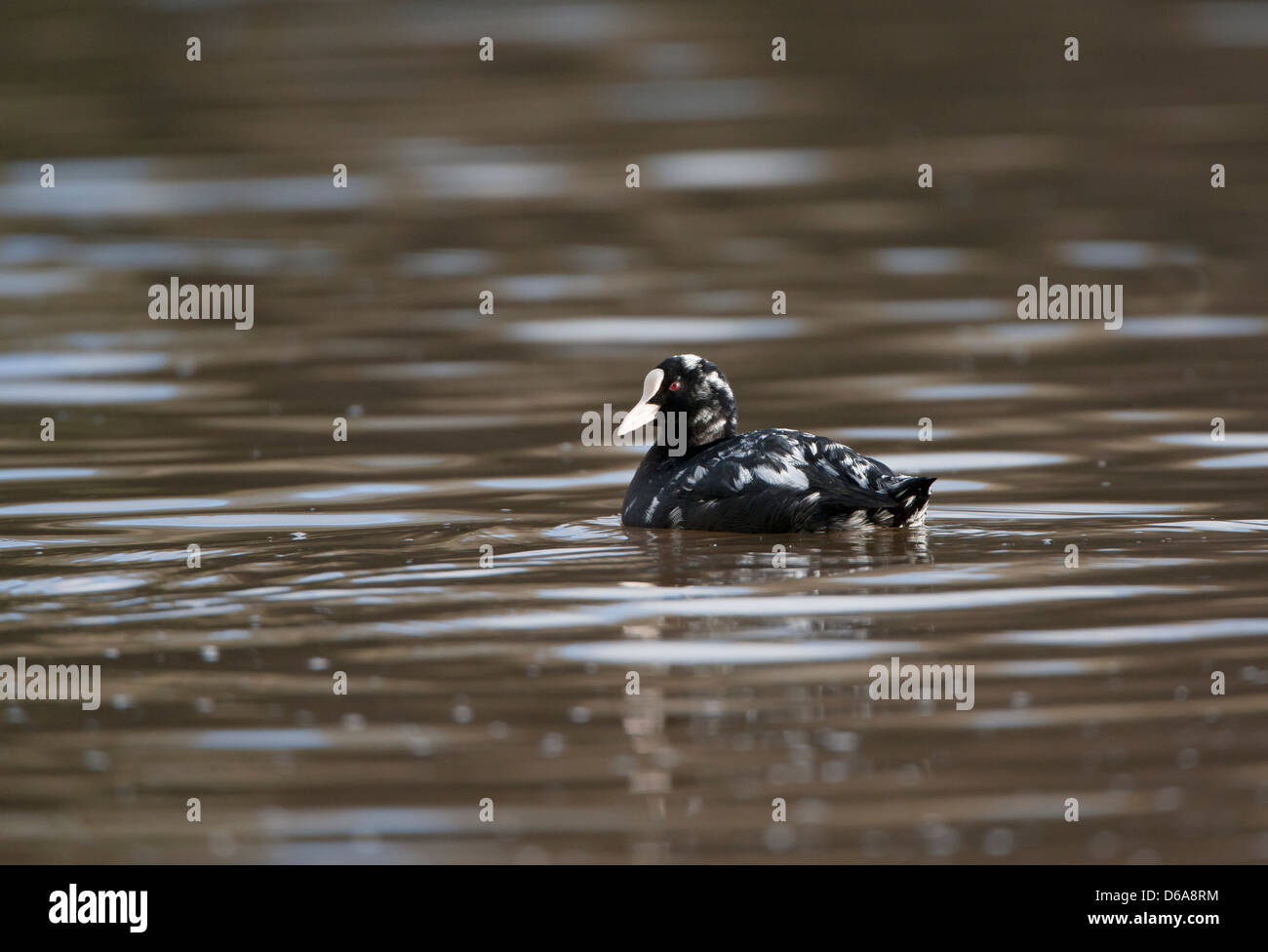 Fulica atra  - coot with Leucism (see description) - Stock Image