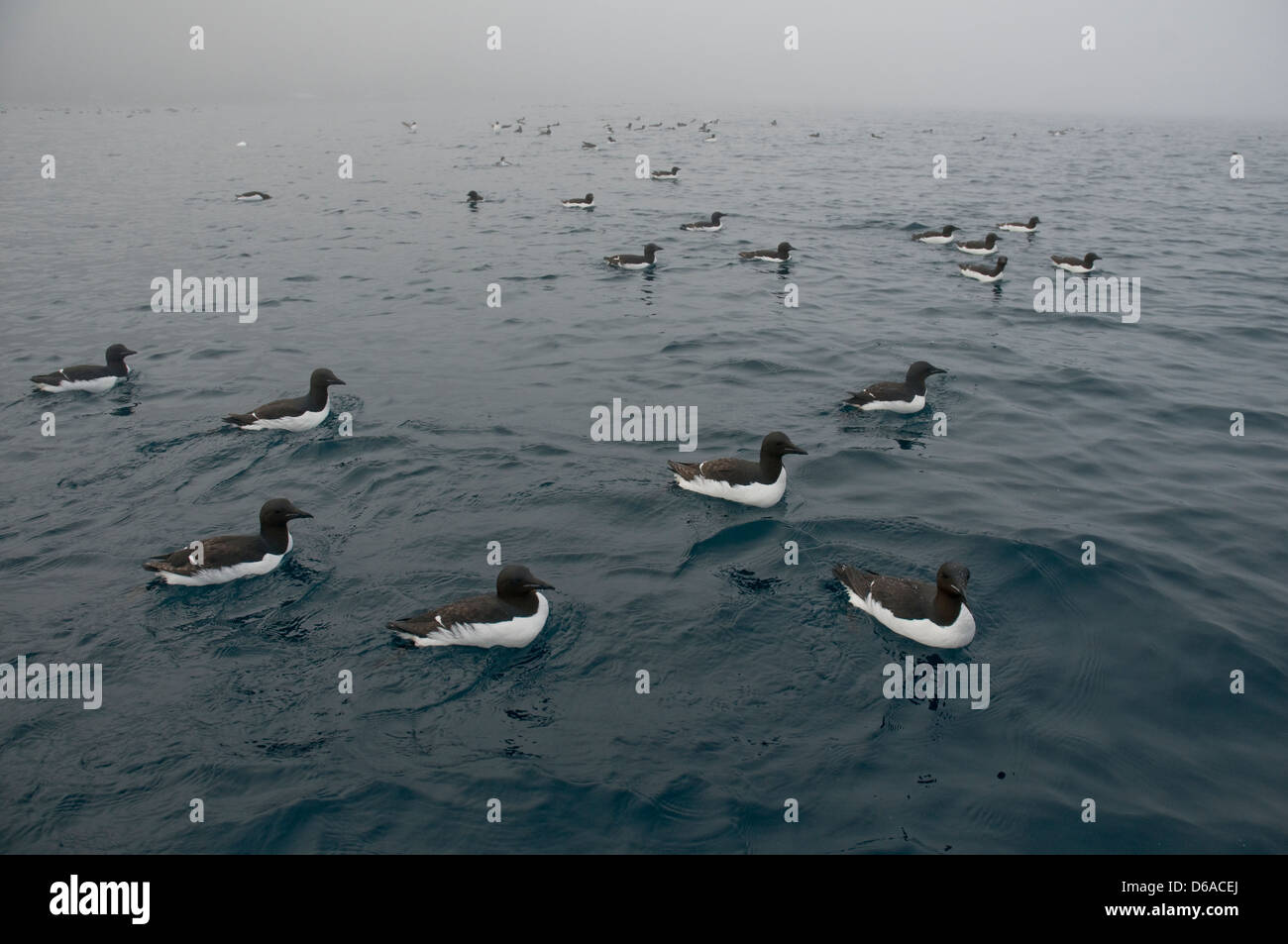 Norway, Svalbard Archipelago, Spitsbergen. Flock of Brunnich's guillemots, Uria lomvia, swimming along the coast. Stock Photo