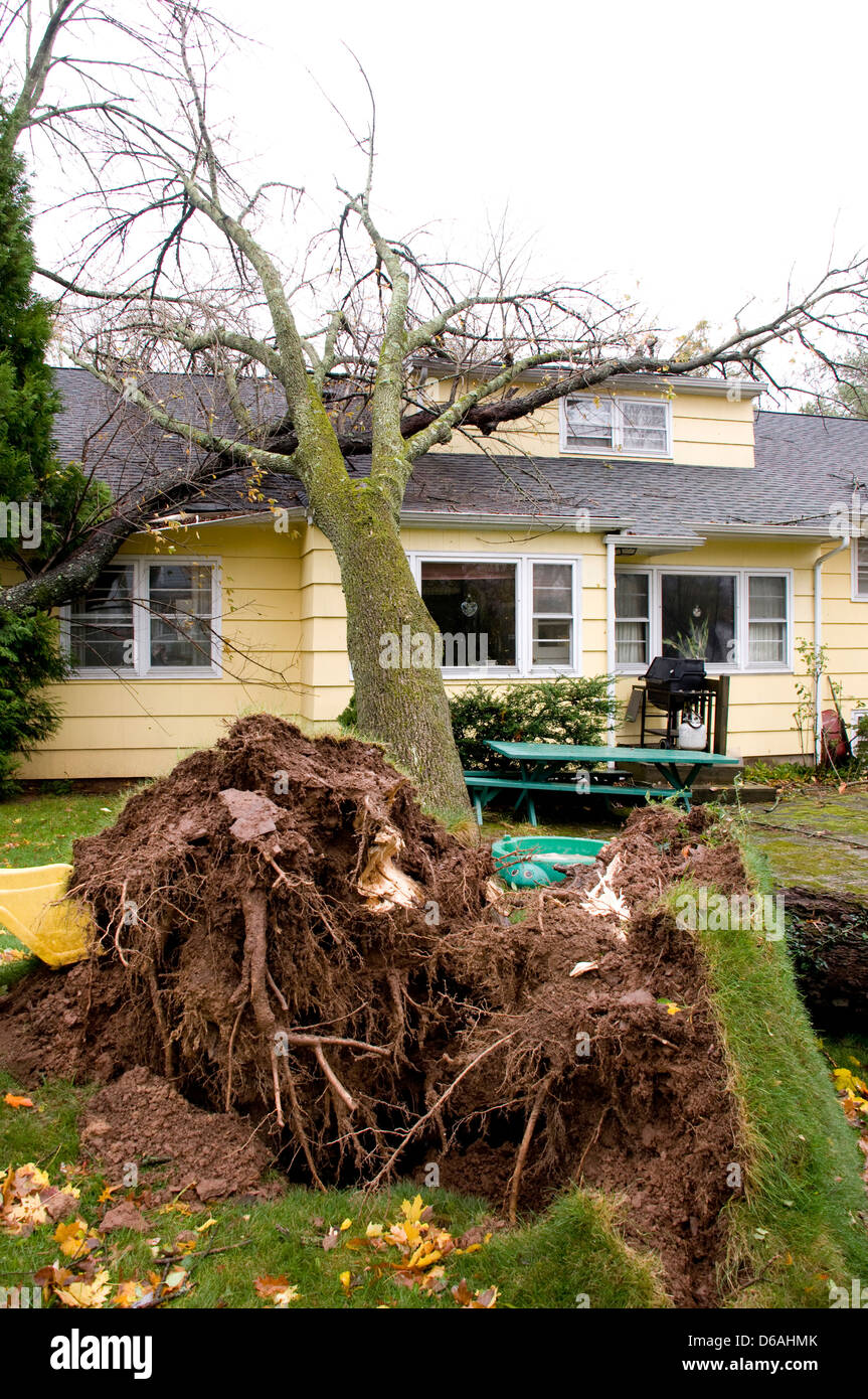 Tree which has fallen on the roof of a house. Caused by hurricane Sandy. Roots are showing in foreground. - Stock Image