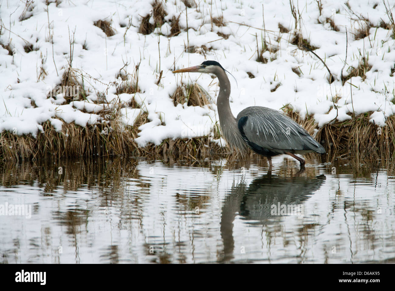 Great Blue Heron in Snow - Stock Image