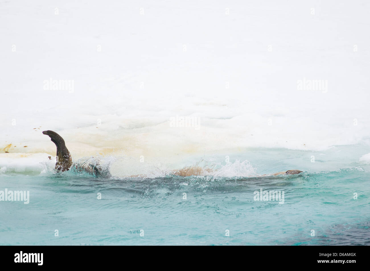 Norway, Svalbard Archipelago, Spitsbergen. Walrus, Odobenus rosmarus, adult rolls off a pan of sea ice into the Stock Photo