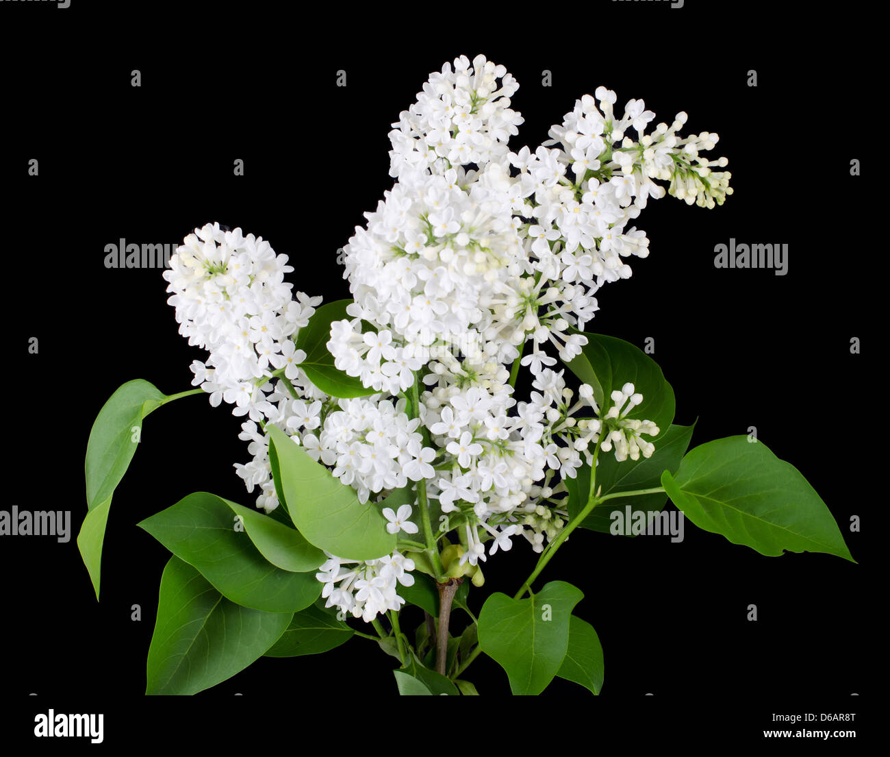 The beautiful lilac on black background - Stock Image