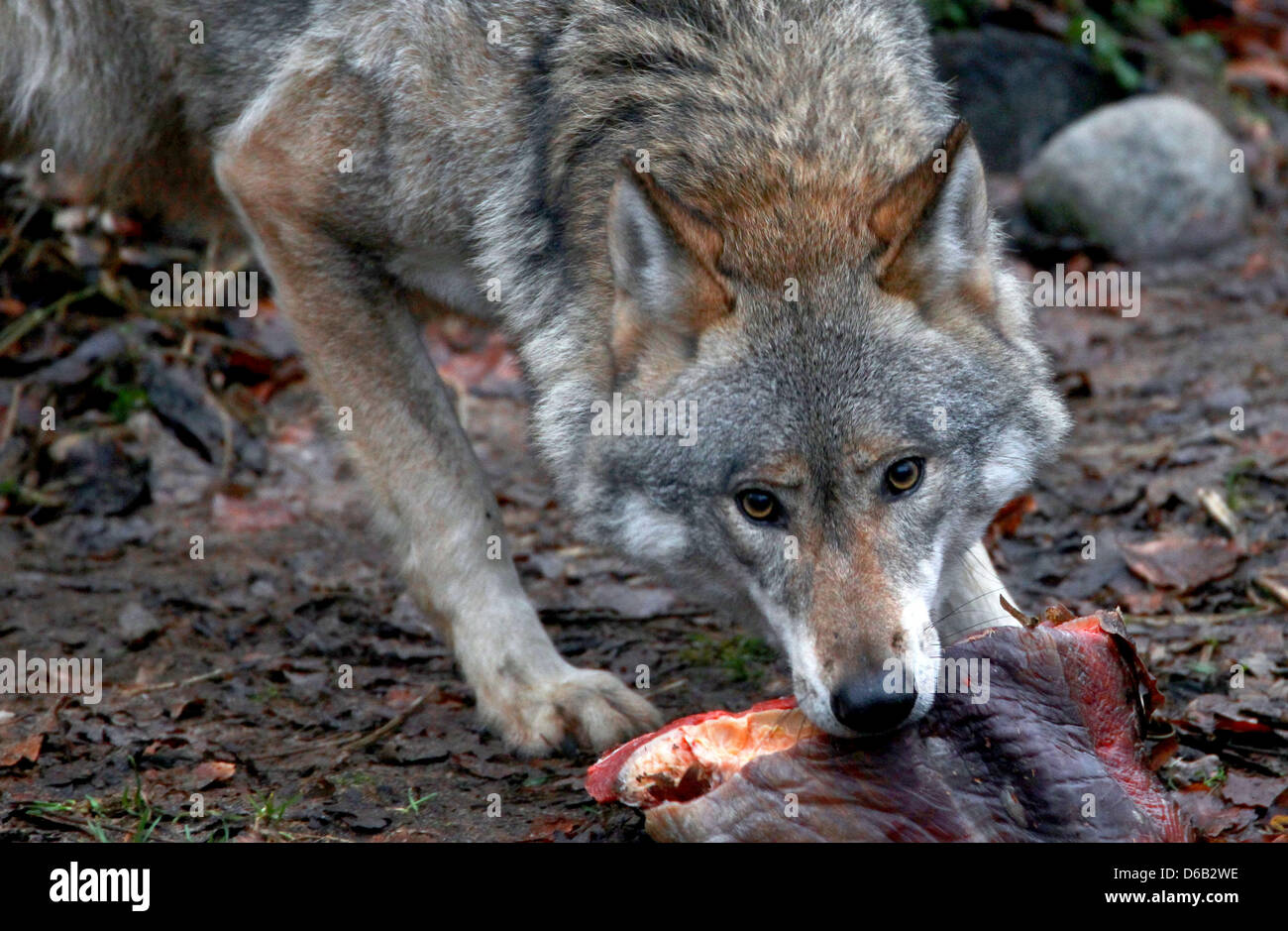 (FILE) An archive photo dated 16 January 2012 shows a wolf taking a piece of meat at the zoo in Schwerin, Germany. - Stock Image
