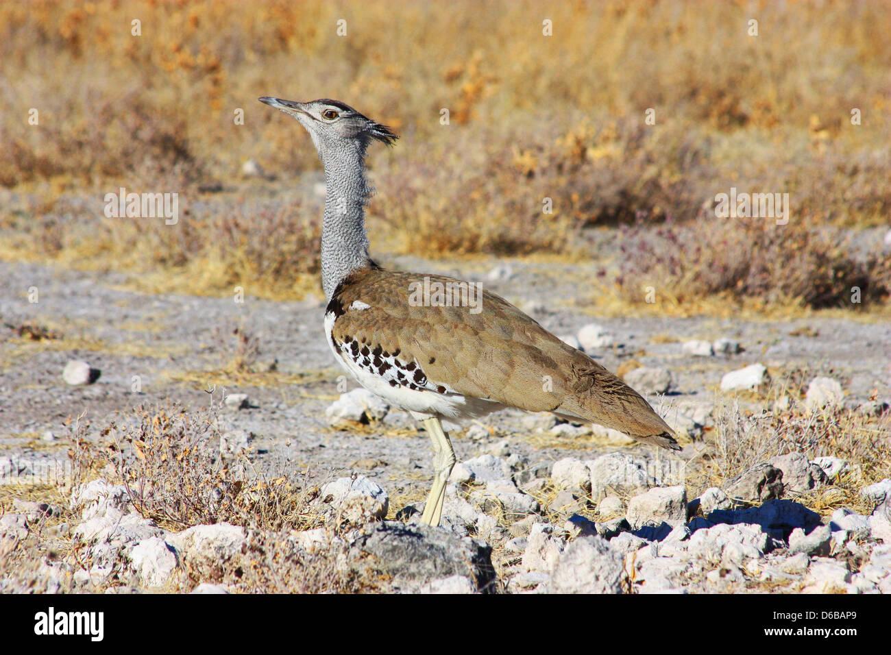 Namibian wild life - Stock Image