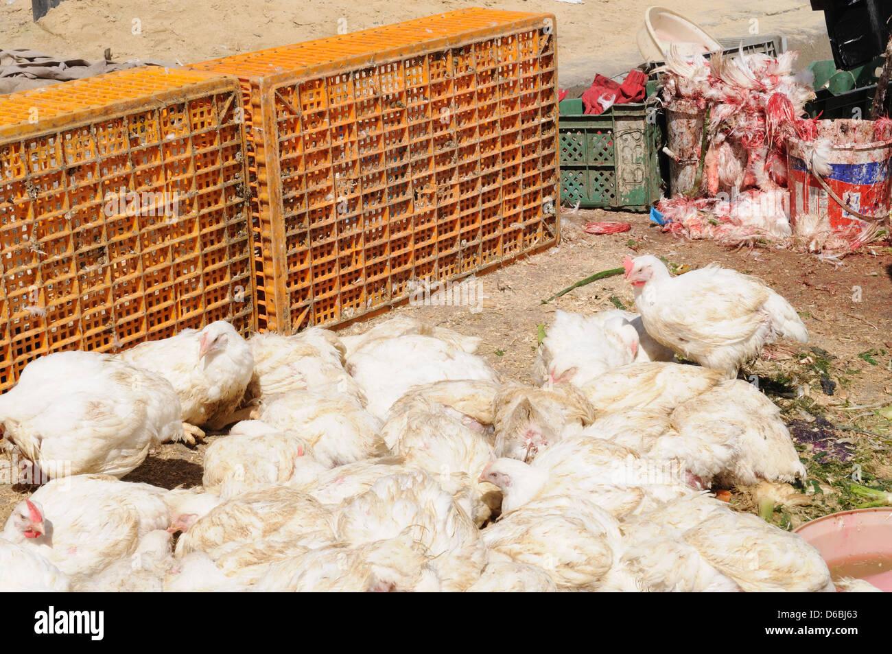 Live chickens for sale in Bizerte market Tunisia Stock Photo
