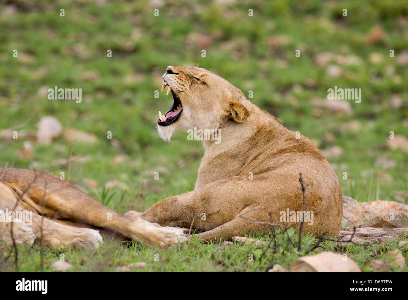 A lioness has a good yawn displaying her long canines. Phinda Game Reserve, South Africa. - Stock Image