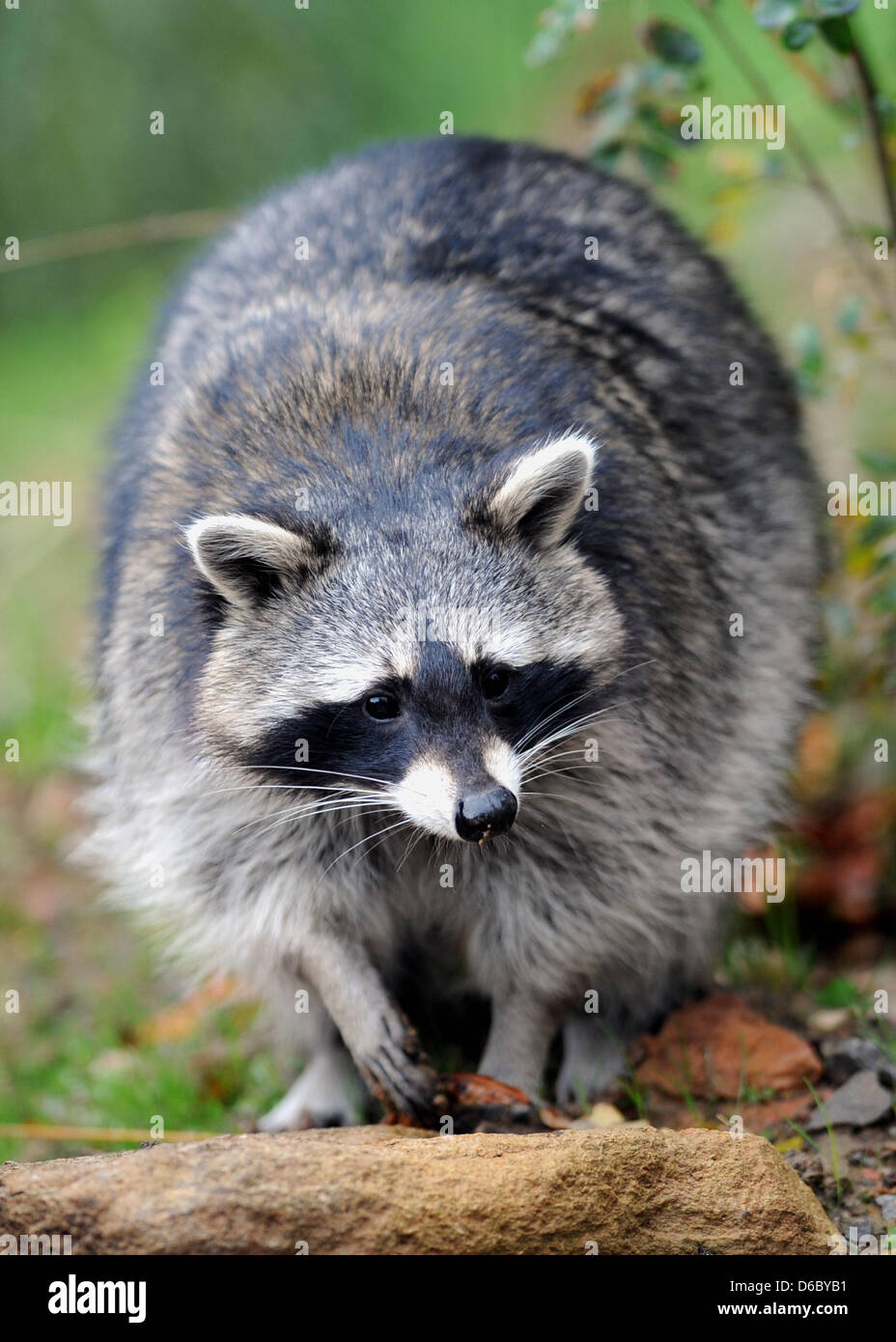 FILE - An archive picture dated 07 October 2011 shows a raccoon near Hofgeismar, Germany. 67,706 raccoons, which - Stock Image