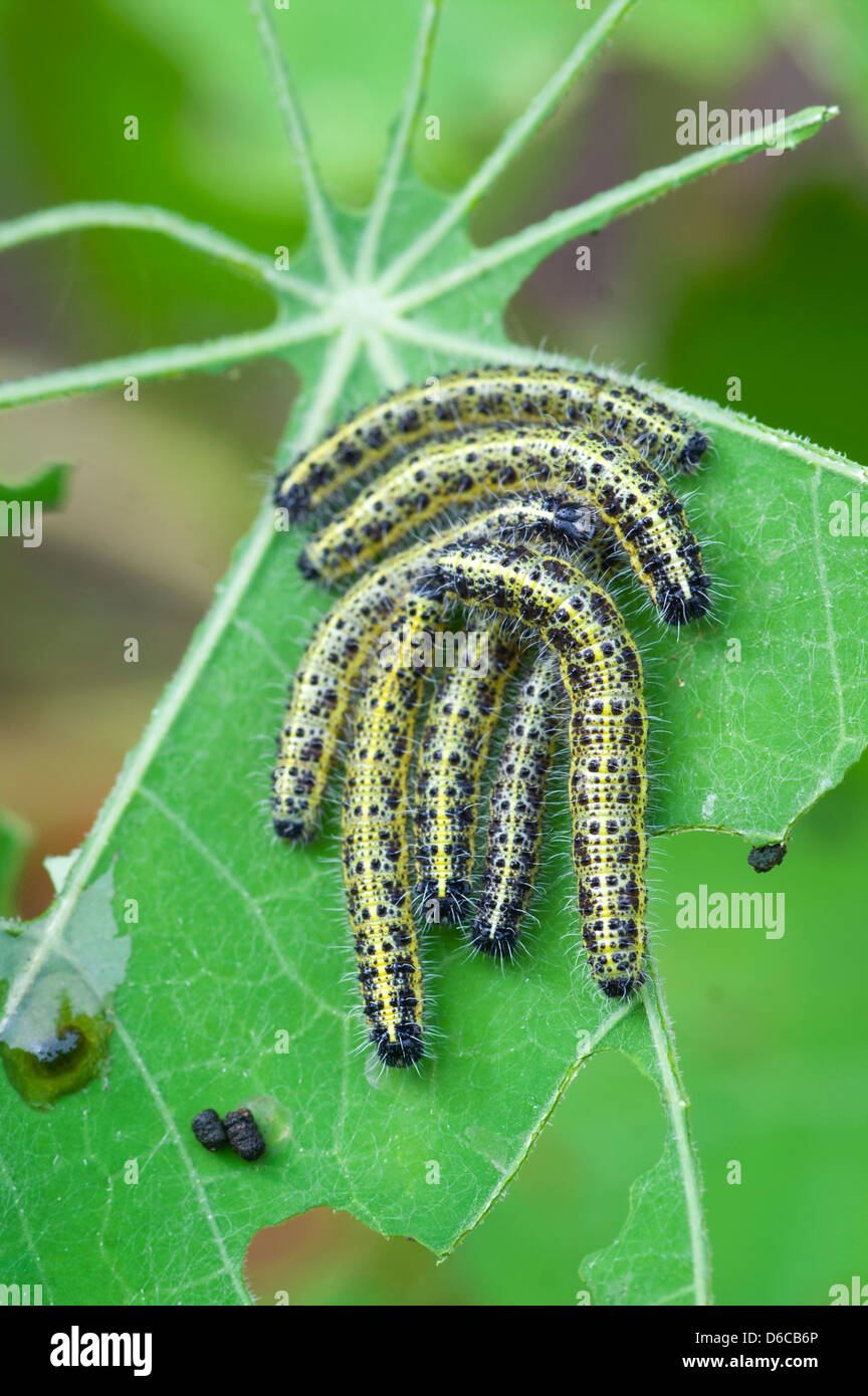 Large White Caterpillars Pieris Brassicae On Eaten Leaf
