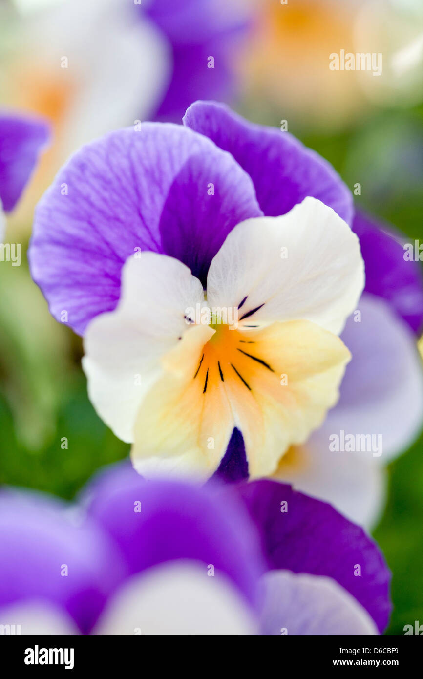 Winter Flowering Pansy - Rocky Peach Jump Up - Stock Image