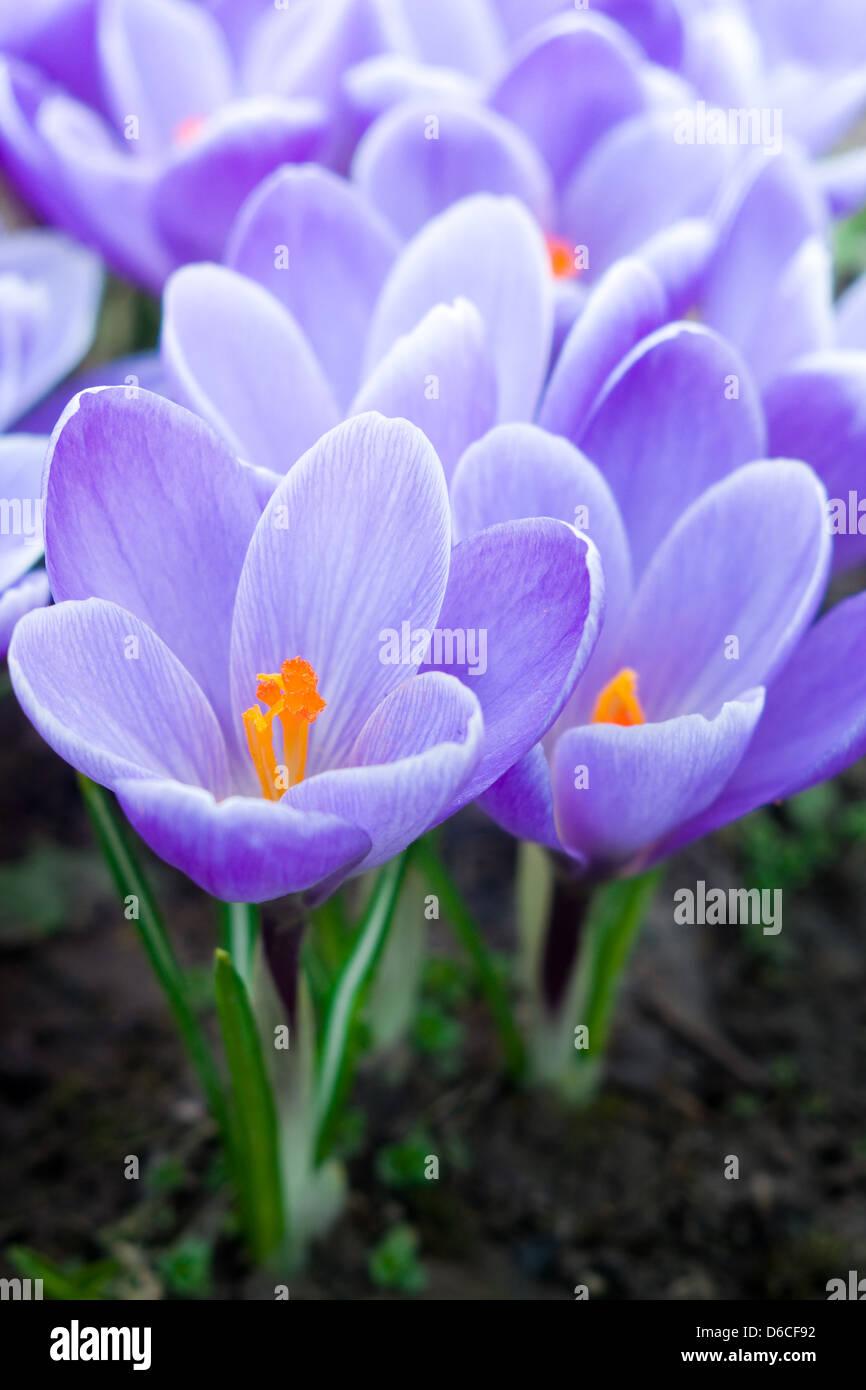 Purple crocuses - first spring flowers - Stock Image