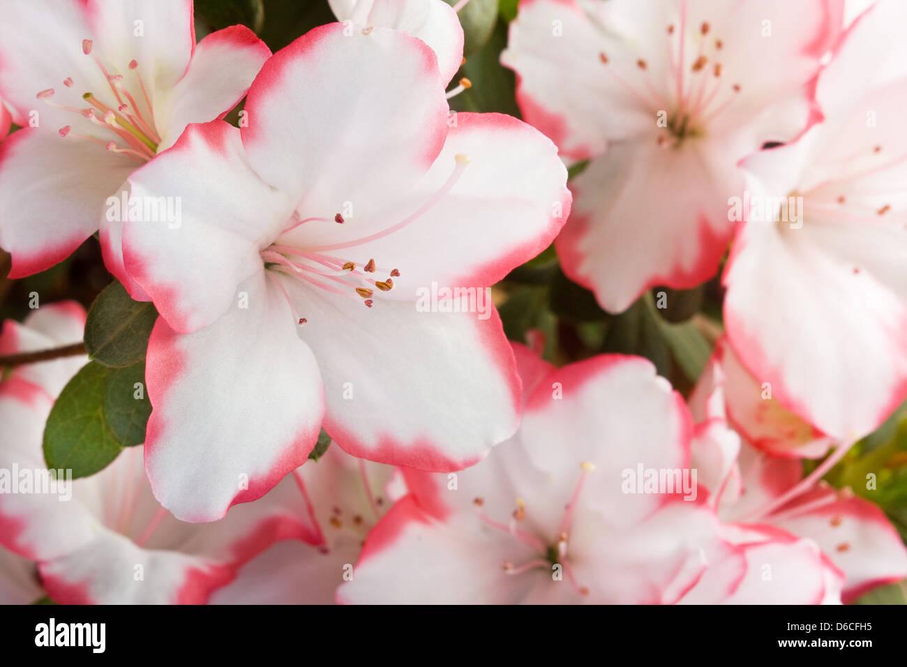 Azalea flowers - Rhododendron japonicum - Stock Image